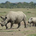Black Rhino and her calf - Ol Pejeta